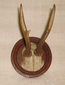 Picture of Deer Antlers n° 10