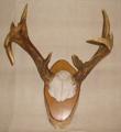 Picture of American deer antler  n° 8