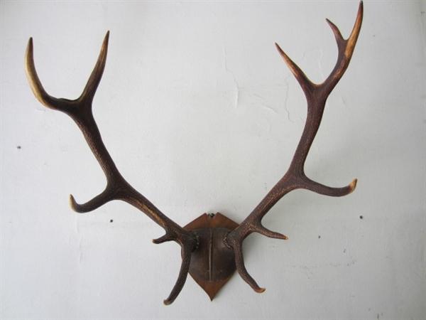 Immagine di Trofeo corna cervo n° 6