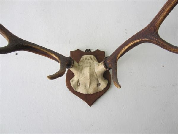 Picture of Deer Antlers trophy n° 7